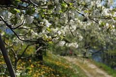 printemps (bulbocode909) Tags: valais suisse printemps nature arbres fruitiers fleurs chemins vert jaune bleu montagnes vergers feuilles