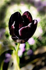 Queen of the Night Tulip (pondhopper1) Tags: tulip mygarden flowers queenofthenight