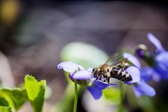LA PRIMAVERA. L'APE GOLOSA. (FRANCO600D) Tags: 600 26 7 ape primavera violetta polline canon eos5d franco600d