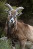 Mouflon - Pyrénées Orientales - 2018-05-06 (marczoccarato) Tags: nikond850 nikon 500 f4e mouflon pyrenees france mammiferes nikon500f4e wildlife mouflons animaux nature