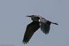IMG_3233 (lisa-sixt) Tags: graureiher ardea cinerea bird gray heron