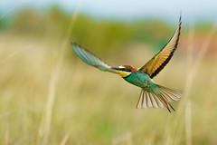 _SON8854-abejaruco-04 (nomaRags) Tags: abejarucos leon sony ilce9 a9 100400gm 14x bird