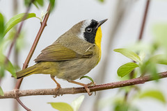 Common Yellowthroat  (Explored thank you) (Kevin E Fox) Tags: yellow throated nikon d500 sigma 150600sport bird nature wildlife outdoor yellowthroated