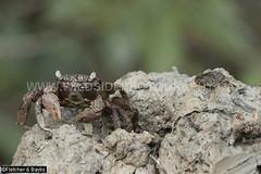 41279 A Tree Climbing crab (Episesarma sp) occupying the burrow in the volcano-like mound made by a Mud Lobster (Thalassina sp) in mangrove wetlands, Kuala Selangor Nature Park, Selangor, Malaysia. (K Fletcher & D Baylis) Tags: wildlife animal fauna crustacea decapoda thalassinidae thalassina mudlobster crab treeclimbingcrab vinegarcrab episesarma mudmound mangrove mangrovewetlands kualaselangornaturepark selangor malaysia asia april2018