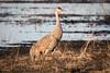Sandhill Crane migration (frostnip907) Tags: sandhillcrane sandhillcranes crane cranes moderndinosaurs midnightsun alaska