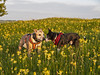 Frogdog and Orcdog (frogdog*) Tags: cowslips dogs middletontop derbyshire flowers wildflowers outdoors sbt staffy terrier staffordshirebullterrier
