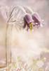 Pulsatilla pratensis. (BirgittaSjostedt) Tags: pulsatillapratensis smallpasqueflower pasque flower rare wild perennial plant