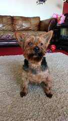 17 May 18 Ted. (@daz_reynolds) Tags: ted yorkie haircut