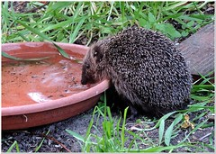 Thirsty (MaxUndFriedel) Tags: gras garden thirst bowl water animal hedgehog