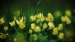 spring (Darek Drapala) Tags: flower flowers spring grass closeup yellow nature natural botanic bokeh panasonic poland polska panasonicg5 park skaryszewski silkypix