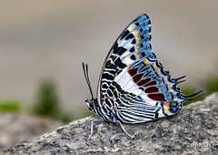 Giant Charaxes (jt893x) Tags: 105mm afsvrmicronikkor105mmf28gifed charaxescastor d810 giantcharaxes insect jt893x macro nikon thesunshinegroup coth alittlebeauty coth5 sunrays5