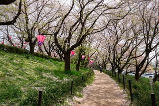 Sakura (Satte, Saitama, Japan)