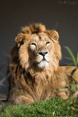 Lion (Cloudtail the Snow Leopard) Tags: löwe tier animal säugetier mammal cat big katze groskatze raubkatze lion panthera leo predator beutegreifer male zoo wilhelma stuttgart
