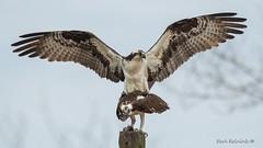 Dating... (Earl Reinink) Tags: mating eating fish flying bird animal raptor osprey spring earl reinink earlreinink ztdahuhdza