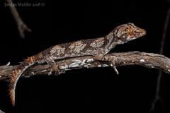 Northern Spiny-tailed Gecko (Strophurus ciliaris) (Jordan Mulder) Tags: northern spiny tailed gecko wildlife reptile topend strophurus ciliaris lizard