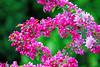Garden Blossom (primosavage) Tags: pink blossom garden shrub vibrant colour spring bush