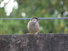 DSC07952 Pardal (familiapratta) Tags: sony dschx100v hx100v iso100 natureza pássaro pássaros aves nature bird birds novaodessa novaodessasp brasil