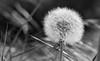Il Soffione (Orange Attitude) Tags: canon eos soffione dandelion 50mm blackandwhite bw monocrome blancetnoir flower spring printemps flora air aria nature natura