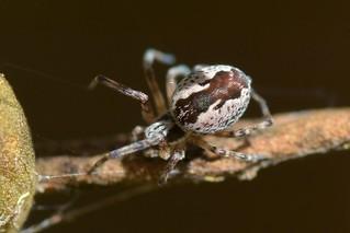 Attractive spider I can't identify
