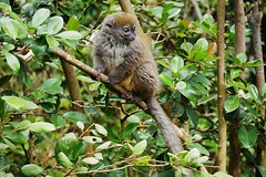 Bamboo Lemur (Susan Roehl) Tags: madagascar2017 islandofmadagascar offtheeastcoastofafrica peyrierasmadagascarexoticreserve bamboolemurs gentlelemurs genushapelemur mediumsized animal mammal herbivore eatsbamboo endemic trees leaves preferdampforests activeduringday earlymorning arboreal groupsof3to5individuals makeavarietyofsounds oneortwoyoung lifeexpectancy12years sueroehl photographictours naturalexposures panasonic lumixdmcgh4 100400mmlens handheld cropped forest tree ngc coth5 coth
