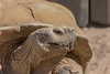 "Erfurt, Zoo, ""Spornschildkröte"" (joergpeterjunk) Tags: erfurt zoo outdoor tier schildkröte spornschildkröte canoneos7dmarkii tamron16300mmf3563diiivcpzdmacro"
