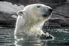Palette Cleansing (helenehoffman) Tags: arctic bear wildlife conservationstatusvulnerable sandiegozoo mammal fish ursusmaritimus ursidae tatqiq polarbear polarbearplunge marinemammal animal