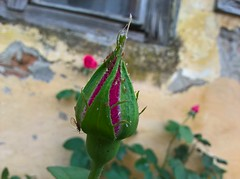 WP_20180505_06_52_30_Raw (vale 83) Tags: rose bud microsoft lumia 550 friends coloursplosion colourartaward