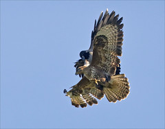 """""""Clear off"""" (Vab2009) Tags: buzzard buteobuteo crow hoodedcrow attack"""