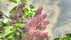 * Profumo di Lillà * Scent of Lilac * (argia world 1) Tags: fiori flowers lillà lilac cespuglio bush rami branches foglie leaves cielo sky nuvole clouds