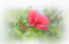 Hibiscus (Anthony Mark Images) Tags: flowers pretty lovely beautiful hibiscus redflower tropicalflowers jamaica westindies caribbean flora flor fleur blume fiore λουλούδι 花 फूल