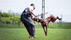 Swing (zola.kovacsh) Tags: outdoor animal pet dog ipo schutzhund dobermann doberman pinscher