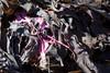 seaweedIMG_6108 (mandyerush) Tags: pebbles seaweed sea minch isle skye otterburn driftwood lesser celadine crustacean beach fairy