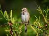 Song Sparrow, John Heinz Wildlife Refuge (alan jackman) Tags: snowy egret johnheinz wildlife refuge tinicum tamron 150600mm alanjackman jackmanonjazz song sparrow bird birding nikon d7000 wetlands