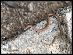 _03A5959 Black-headed Snake ©Dancing Snake Nature Photography (Dancing Snake Nature Photography) Tags: arizona nature photography dancingsnakenaturephotography reptiles blackheadedsnake pinalcounty