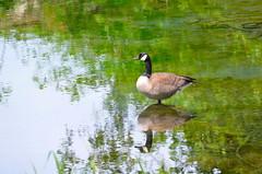 Still Waters (Neal D) Tags: bc chilliwack pond water goose canadagoose brantacanadensis rotarytrail peachcreek reflection bird