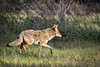 On a Mission (alicecahill) Tags: california spring wild wildlife yosemite coyote yosemitenationalpark nationalpark mammal usa ©alicecahill animal