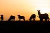 Silouhettes (Ring a Ding Ding) Tags: africa animal ndutu nomad serengeti sunset tanzania dusk evening nature safari silouhette sky wildlife arusharegion zebra wildebeest
