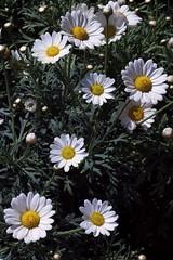 花のデザイン - Flowers Design (Hive Bee) Tags: flowers fiori daisy magherita garden mygarden desing naturedesign beautiful fujifilm fujinon fuji xt1 xf56mm