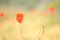 chiari papaveri (SimonaPolp) Tags: poppy poppies papaveri red rosso flowers may maggio poesia bokeh light