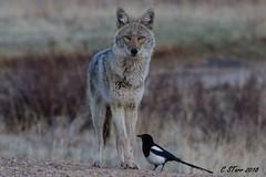 IMG_4954 coyote (starc283) Tags: starc283 wildlife flickr flicker kits canon 7d nature natures finest nebraska watcher outdoors outdoor predator prairie smug bug animal grass bear pet mammal wood coyote forest