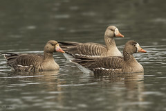 Greater white-fronted goose / Oie rieuse (shimmer5641) Tags: anseralbifrons greaterwhitefrontedgoose oierieuse anatidaefamily ánsarcareto whitefrontedgoose birdsofbritishcolumbia birdsofnorthamerica