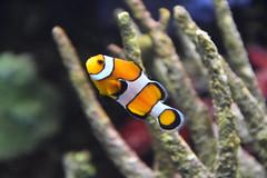 Clown Fish (Adventurer Dustin Holmes) Tags: 2018 wondersofwildlife nemo clownfish fish anemone anemonefish amphiprioninae anemonefishanimalia chordata actinopterygii perciformes pomacentridae saltwater tropical