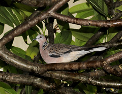 Shelter from the storm (WinRuWorld) Tags: spottedturtledove streptopeliachinensis spotteddove indianturtledove columbidae bird shelter animal vertebrate storm creature fauna nature naturephotography frangipani plumeriaalba australia nsw newsouthwales canon canonphotography plumage feathers outdoors wildlife wildlifephotography
