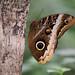 Butterfly's eye