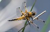 Four-Spotted Chaser - Libellula quadrimaculata (Male) (Andy Pandy Pooh) Tags: fourspottedchaser libellulaquadrimaculata hengistburyhead lilypond dragonfly