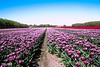 Tulip Season (Greet N.) Tags: tulips flowers springtime farm veenhuizen drenthe