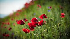 True red (drstar.) Tags: red poppy spring nikond610