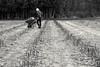 Asparagus Season (Kat Hatt) Tags: farm kathatt asparagus princeedwardcounty canada farmer field may20018 farming bw