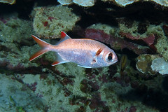 sheen (BarryFackler) Tags: fish marinelife animal vertebrate saltwater reef tropical sea ocean diver diving dive scuba sealife konadiving aquatic myripristiskuntee pearlysoldierfish uu soldierfish shoulderbarsoldierfish mkuntee epaulettesoldierfish marine hawaii southkona bigisland marinebiology hawaiiisland seacreature bay marineecosystem hawaiicounty sealifecamera biology nature marineecology honaunau sandwichislands being pacificocean barronfackler undersea island kona bigislanddiving polynesia barryfackler underwater organism pacific coralreef zoology konacoast fauna life coral water ecology outdoor westhawaii tropicalfish reeffish 2018 creature ecosystem