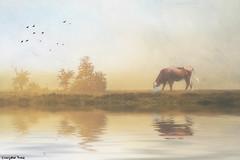 Sometimes (gusdiaz) Tags: photoshop photomanipulation digital art arte composite composition cow grass lake river reflection water fog foggy neblina reflejo artistico textura texture relaxing relajante beautiful